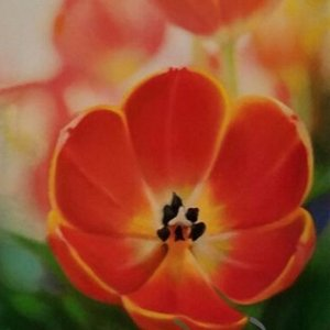 Close Up Orange Tulip Pastel